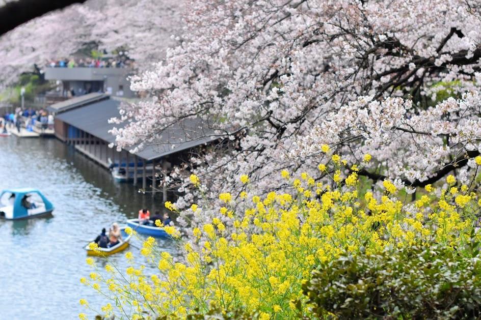 千鳥ヶ淵の桜と菜の花