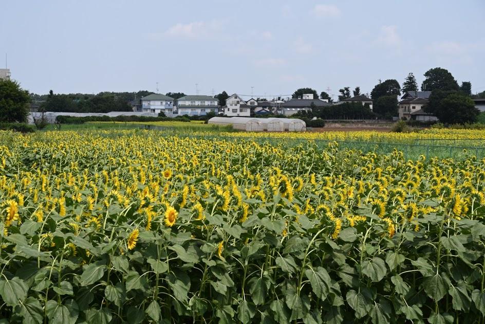 清瀬市のひまわり畑