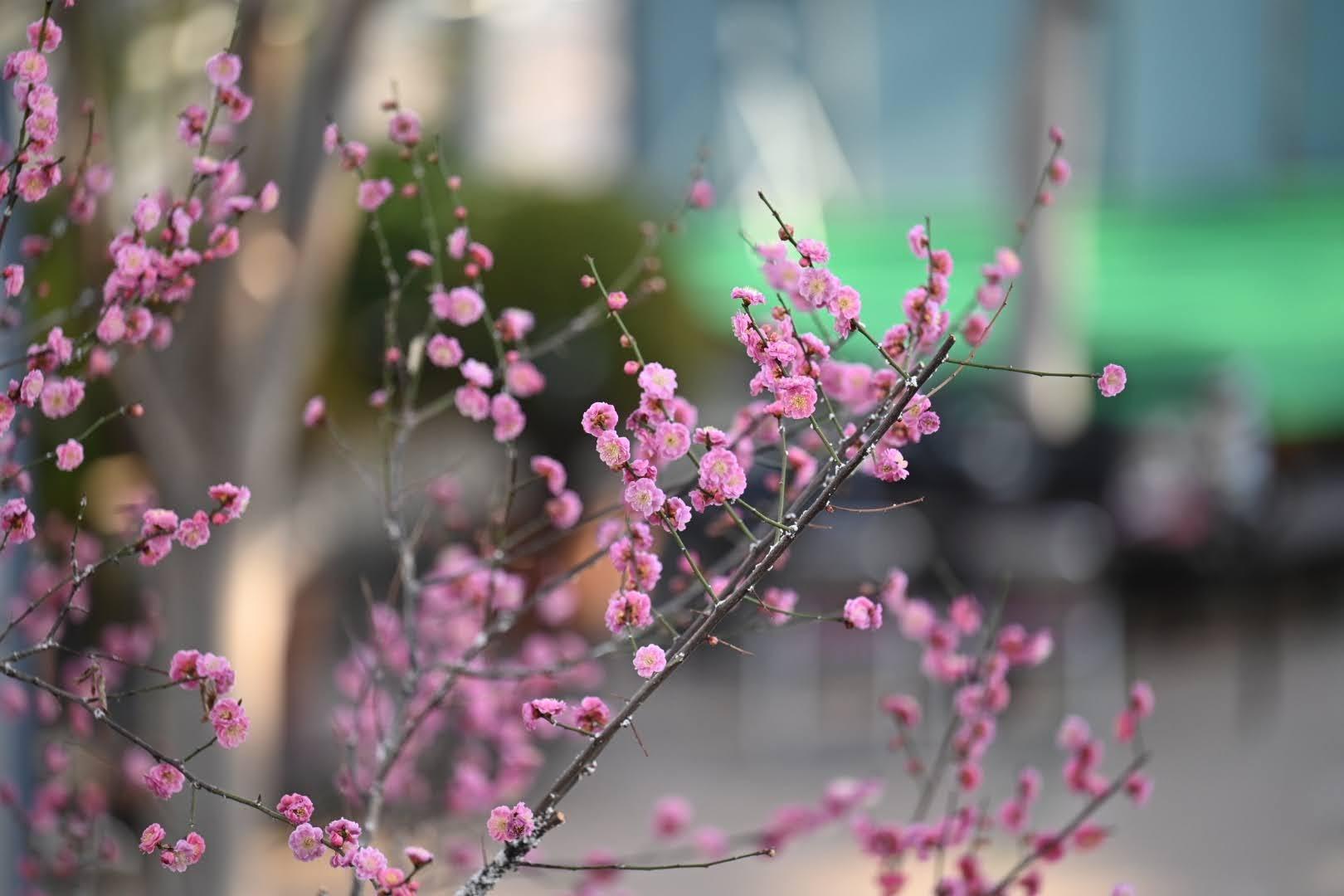 セリオンリスタの梅の花